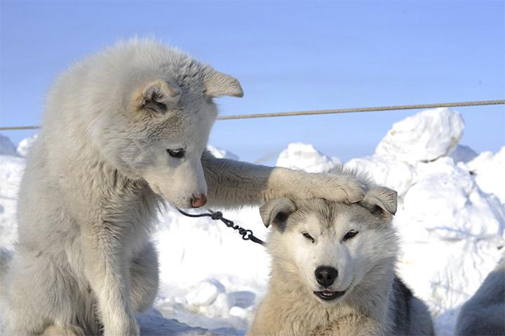 Chukchi dogs