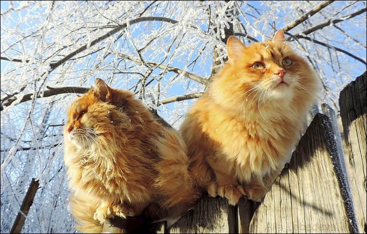 Картинки по запросу siberian on snow cat