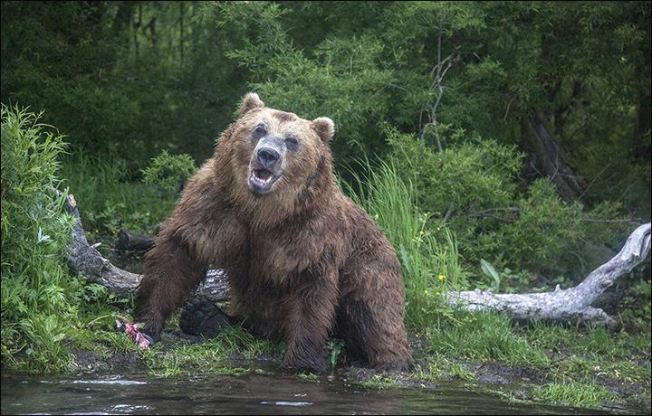 Man lives after bear breaks his spine and keeps him as food inside den
